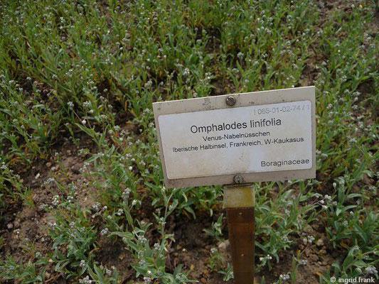 Omphalodes linifolia - Venus-Nabelnüsschen    VI-IX  (Fremdländische Pflanze; Botanischer Garten Berlin)