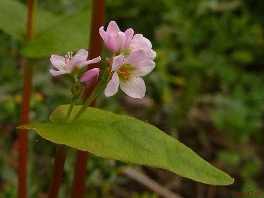 Fagopyrum esculentum - Echter Buchweizen