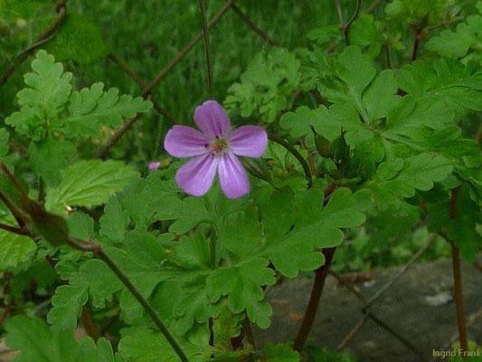 04.05.2011-Geranium robertianum - Ruprechtskraut, Stinkender Storchschnabel
