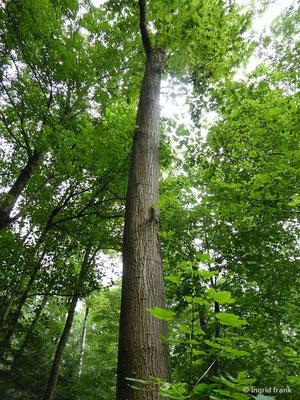 Quercus rubra - Rot-Eiche