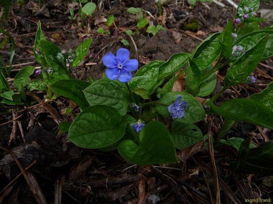 Omphalodes verna - Frühlings-Gedenkemein    IV-V