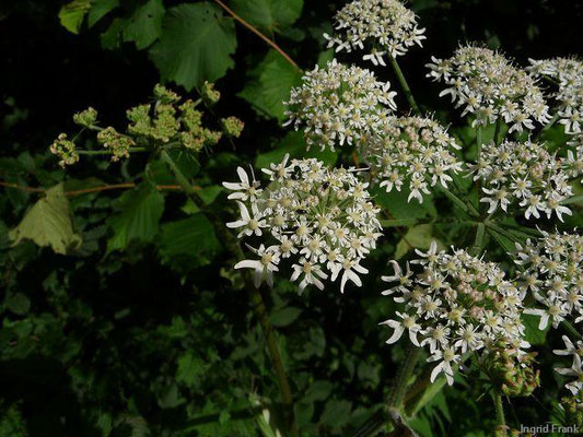 Heracleum sphondylium ssp. sphondylium / Gewöhnlicher Wiesen-Bärenklau