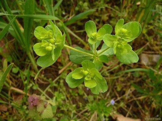 13.05.2013-Euphorbia helioscopia - Sonnenwend-Wolfsmilch