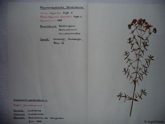 (54) Hypericum perforatum -Tüpfel-Johanniskraut