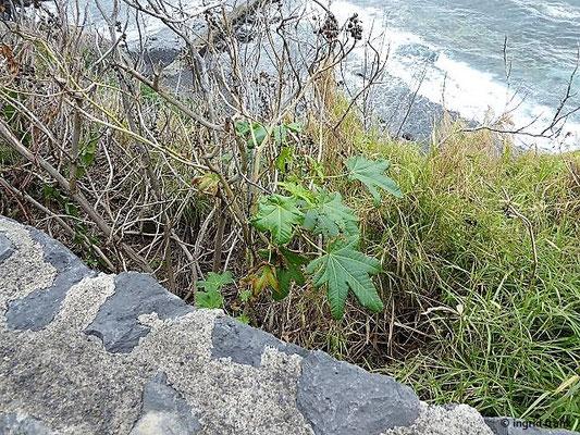 Ricinus communis - Wunderbaum, Rizinus