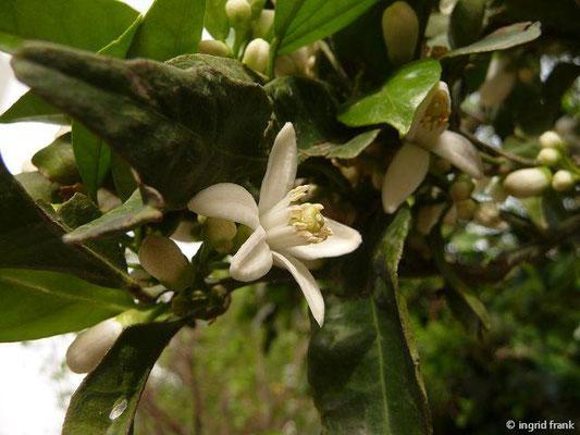 Citrus sinensis - Apfelsine (Türkische Ägäis)