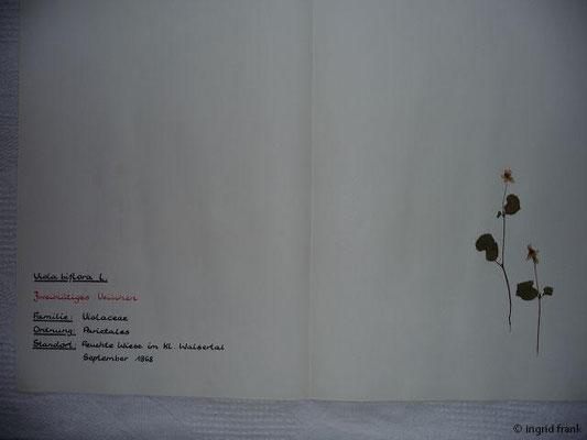 (52) Viola biflora - Zweiblütiges Veilchen