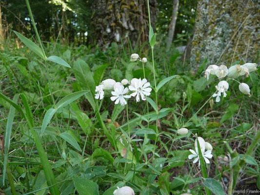 Silene vulgaris - Weiße Lichtnelke, Weiße Nachtnelke