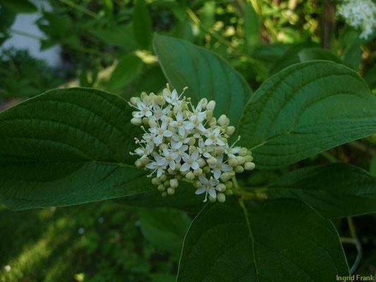Cornus sericea - Sprossender Hartriegel