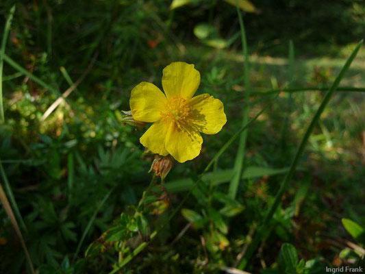 Helianthemum nummularium ssp. nummularium / Gewöhnliches Sonnenröschen