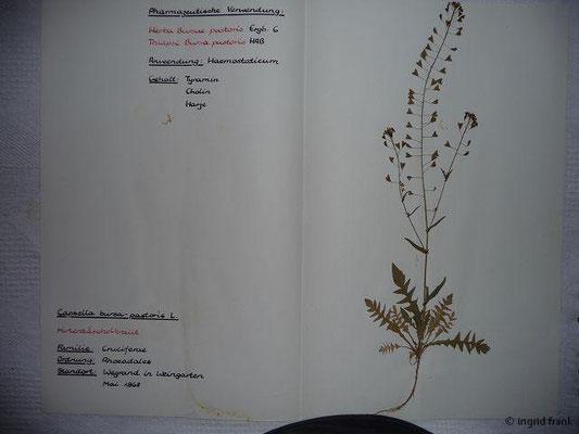 (47) Capsella bursa-pastoris - Hirtentäschelkraut