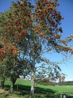 Sorbus aucuparia - Eberesche, Vogelbeerbaum
