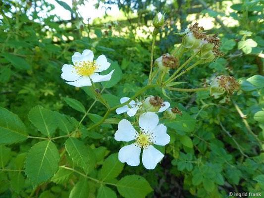 Rosa arvensis - Kriechende Rose, Feld-Rose