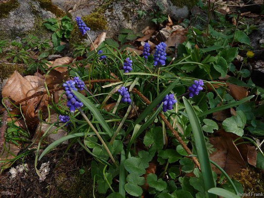 30.03.2011-Muscari botryoides / Kleine Traubenhyazinthe