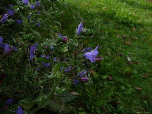 Echium vulgare - Gewöhnlicher Natternkopf    V-X