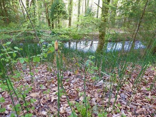 Equisetum hyemale - Winter-Schachtelhalm (am hinteren Kanal)
