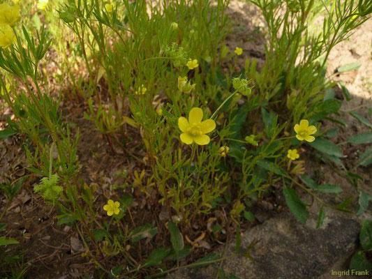 Ranunculus arvensis / Acker-Hahnenfuß  (Botanischer Garten Berlin)