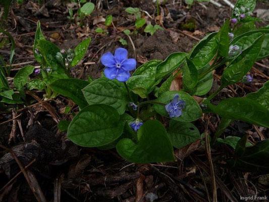 04.04.2010-Omphalodes verna - Frühlings-Gedenkemein, Nabelnüsschen