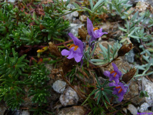 Linaria alpina / Alpen-Leinkraut
