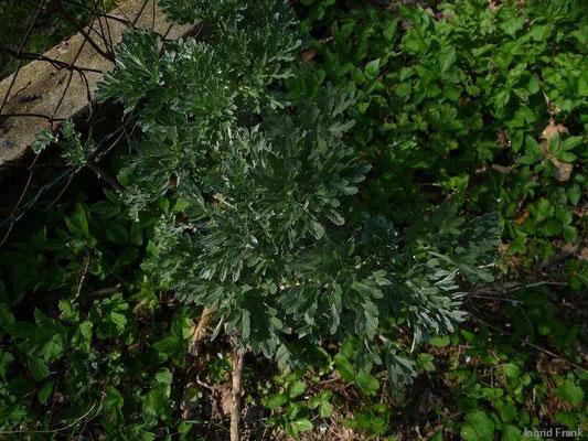 24.04.2010-Artemisia absinthium - Wermut