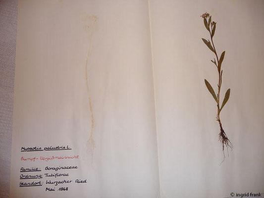 (93) Myosotis palustris - Sumpf-Vergißmeinnicht