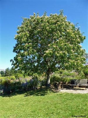 Tetradium daniellii - Bienenbaum, Samthaarige Stinkesche