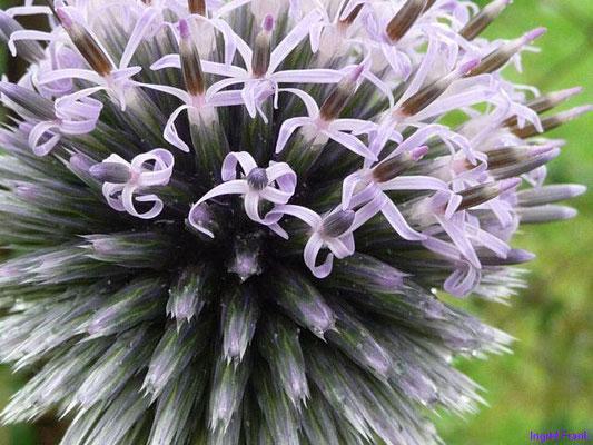 Echinops sphaerocephalus - Bienen-Kugeldistel
