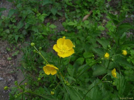 Ranunculus acris / Scharfer Hahnenfuß    (IV-)V-IX