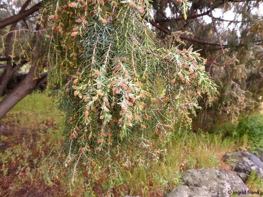 Juniperus cedrus ssp. cedrus - Zedern-Wacholder