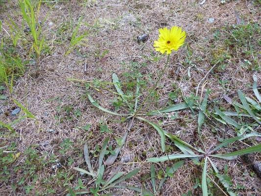 Tolpis staticifolia / Grasnelkneblättriges Habichtskraut