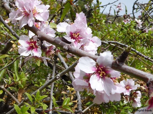 Prunus dulcis - Mandel    III