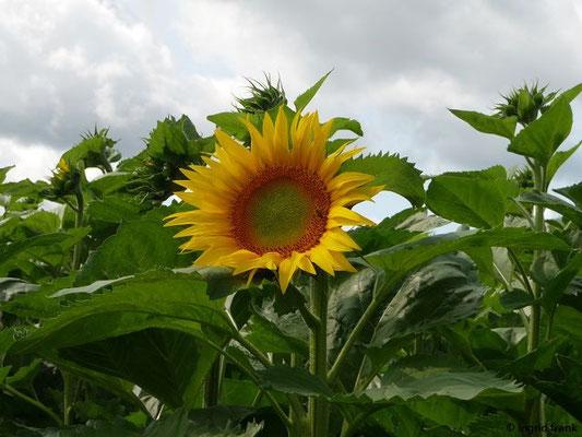 Helianthus annuus - Einjährige Sonnenblume
