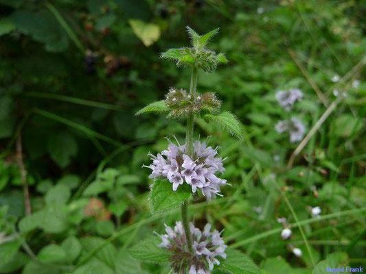 06.08.2011-Mentha arvensis - Acker-Minze