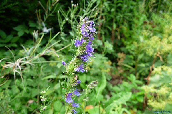 22.07.2010-Hyssopus officinalis - Echter Ysop