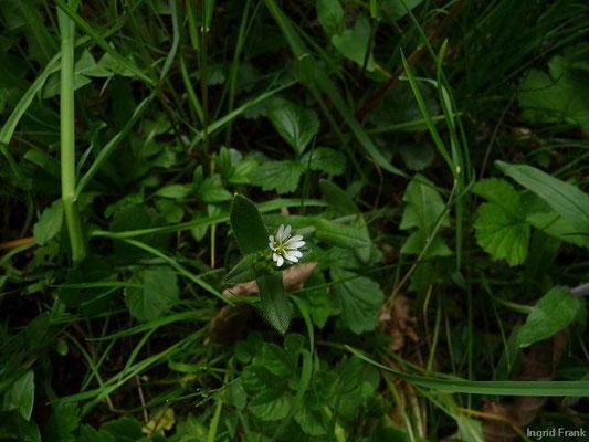 Cerastium fontanum ssp. vulgare / Gewöhnliches Hornkraut