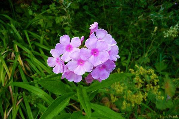 Phlox (im eigenen Garten)