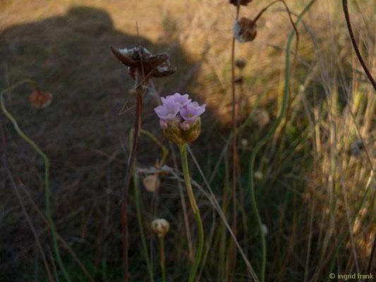 Armeria maritima ssp. maritima - Strand-Grasnelke