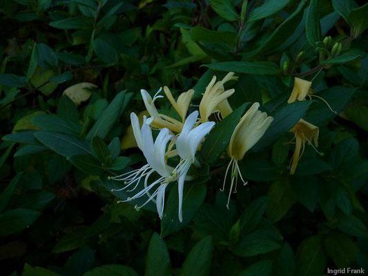 Lonicera japonica / Japanisches Geißblatt