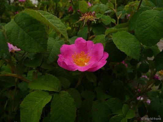 Rosa gallica / Essig-Rose