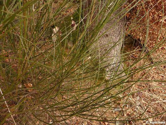 Cytisus scoparius / Besenginster