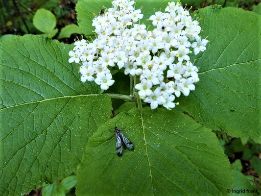 Viburnum lantna - Wolliger Schneeball