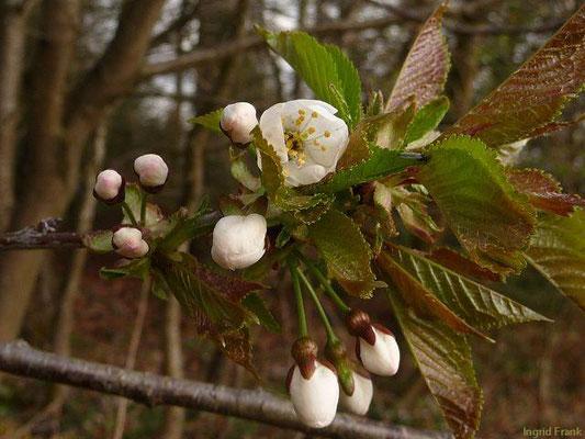 Prunus avium - Süss-Kirsche, Vogel-Kirsche    IV-V