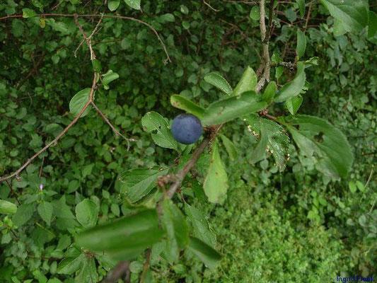 05.08.2011-Prunus spinosa - Schlehe, Schwarzdorn