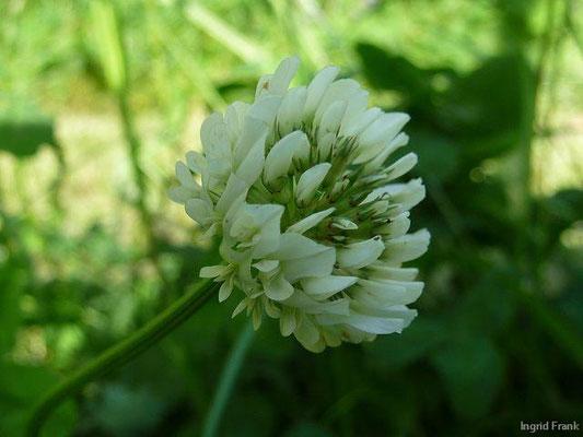 Trifolium repens ssp. repens / Gewöhnlicher Weiß-Klee