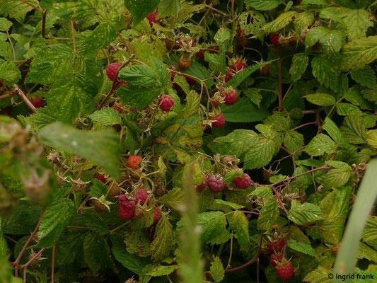 Rubus idaeus / Himbeere