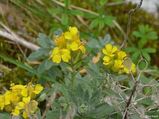 Berg-Steinkraut - Alyssum montanum ssp. montanum