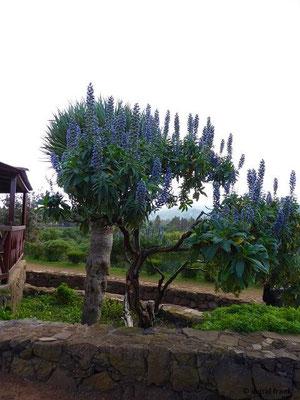 Echium acanthocarpum - Stachelfrüchtiger Natternkopf (hier als Zierpflanze)