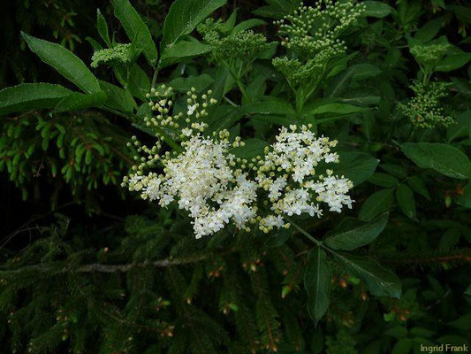 Sambucus nigra / Schwarzer Holunder