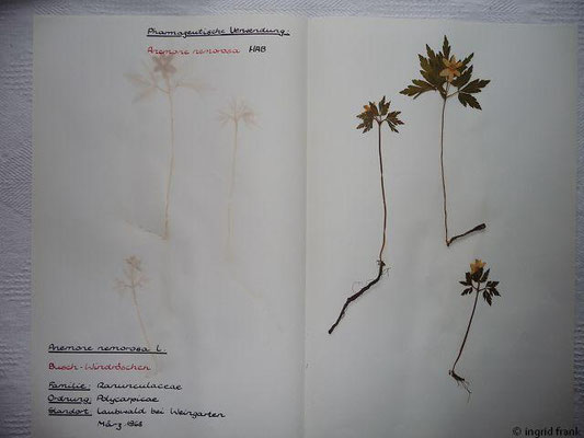 (6) Anemmone nemorosa - Busch-Windröschen