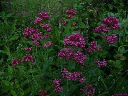 Centranthus ruber - Rote Spornblume